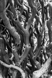 Black and White Photograph of Dragon Tree