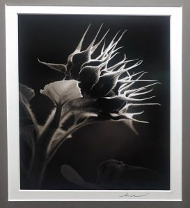 Black and White Photograph of a Sunflower